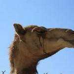 camel_cry
